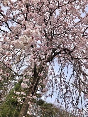 日本橋・谷町九丁目のリラクゼーションサロン M's SWEET 写メ日記 お花見画像